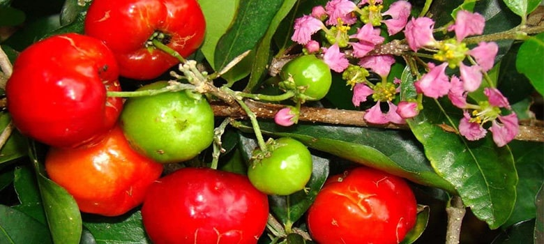 Acerola Cherries - High In Vitamin C