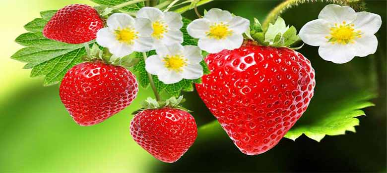 Strawberries: Strawberry Fruit