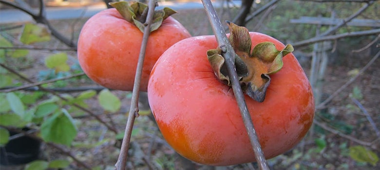 american persimmon fruit - High In Vitamin C